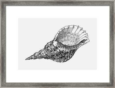 Giant Triton Shell Framed Print