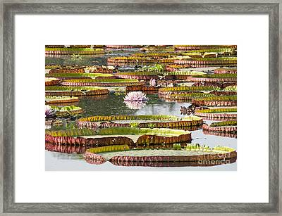 Giant Water Lilies Framed Print by Paulette Sinclair