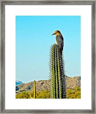 Gila Woodpecker On Saguaro In Organ Pipe Cactus National Monument-arizona Framed Print by Ruth Hager