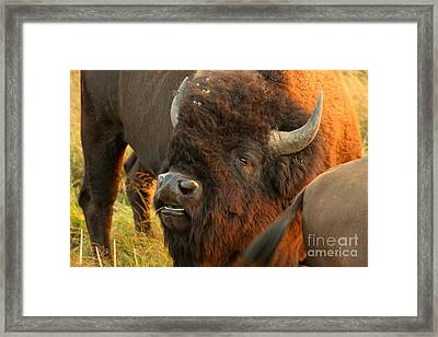 Gimme Some Sweet Tail Framed Print by Adam Jewell