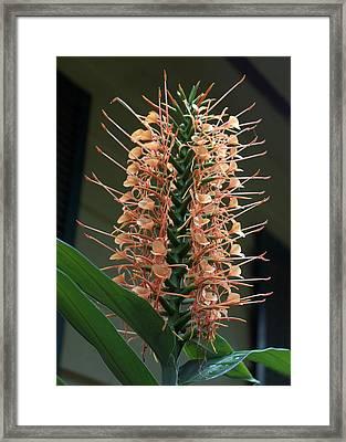 Ginger Blossom Framed Print by Farol Tomson