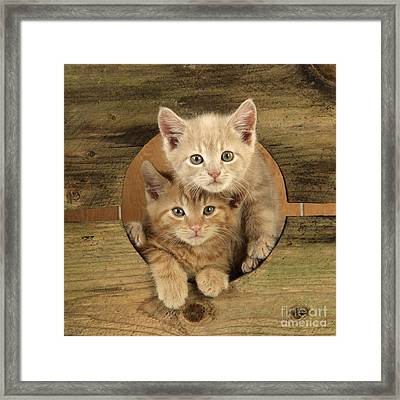 Ginger Kittens Framed Print