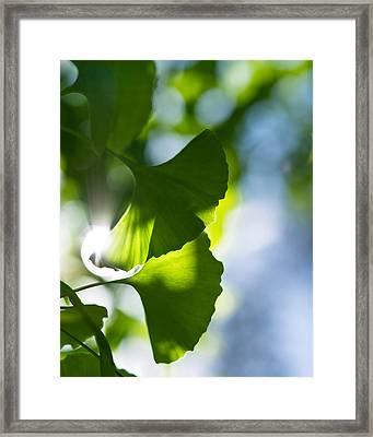 Gingko Leaves In The Sun Framed Print