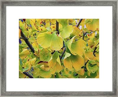 Ginkgo Gold Framed Print by Pamela Patch