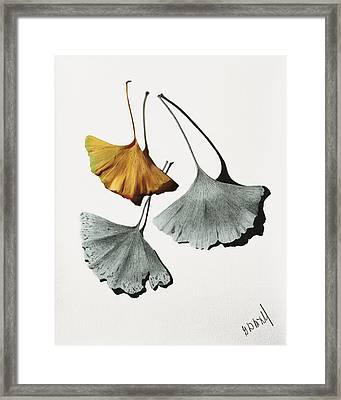 Ginkgo Leaves Framed Print by Garry McMichael