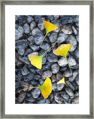 Ginkgo Leaves On Gray Stones Framed Print by Laura Iverson