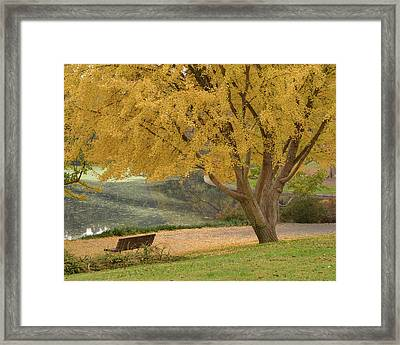 Ginkgo Tree In The Fall  Framed Print by Alessandra RC