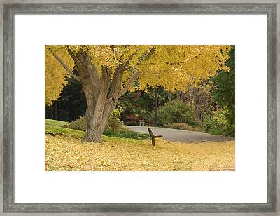 Yellow Ginkgo Tree In The Autumn Framed Print by Alessandra RC