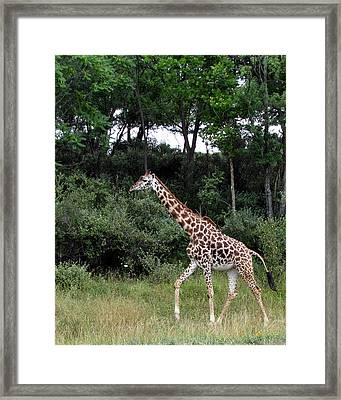 Giraffe 2 Framed Print by George Jones