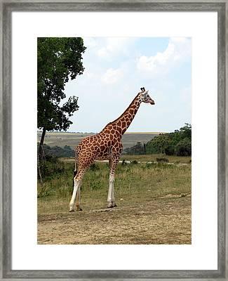 Giraffe 3 Framed Print by George Jones