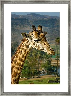 Framed Print featuring the photograph Giraffe by April Reppucci