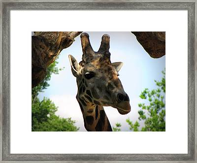 Framed Print featuring the photograph Giraffe by Beth Vincent