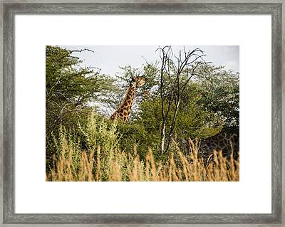 Giraffe Browsing Framed Print