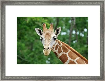 Giraffe Face Framed Print by Teresa Blanton