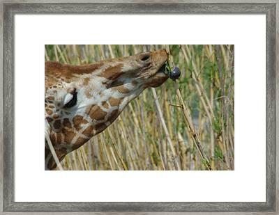 Giraffe Feeding 1 Framed Print by Robyn Stacey