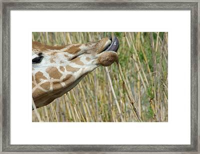 Giraffe Feeding 2 Framed Print by Robyn Stacey