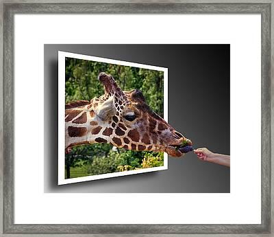 Giraffe Feeding Out Of Frame Framed Print