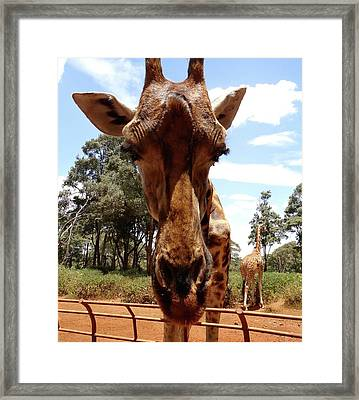 Giraffe Getting Personal 6 Framed Print
