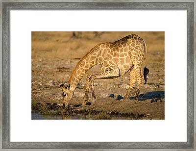 Giraffe Giraffa Camelopardalis Drinking Framed Print by Panoramic Images