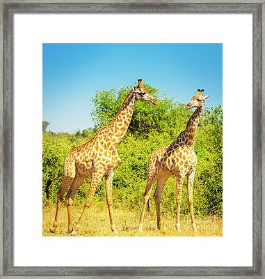 Giraffe In Africa Framed Print by Tim Hester
