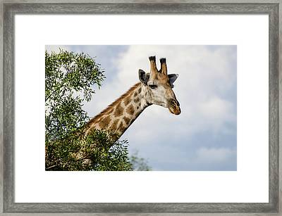 Framed Print featuring the photograph Giraffe In Manyeleti Game Reserve by Rob Huntley