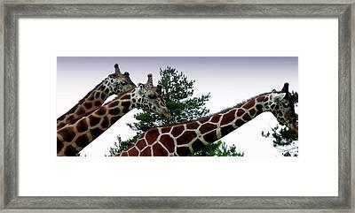 Giraffe Framed Print by Jeremy Martinson