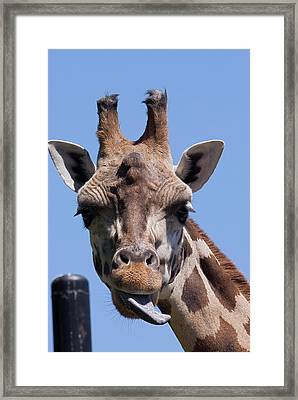 Framed Print featuring the photograph Giraffe by JT Lewis