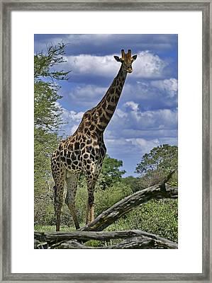 Giraffe Framed Print by Mario De Matos
