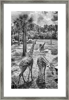 Framed Print featuring the photograph Giraffe Reticulated by Howard Salmon