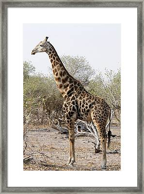 Giraffe Framed Print by Robert Shard
