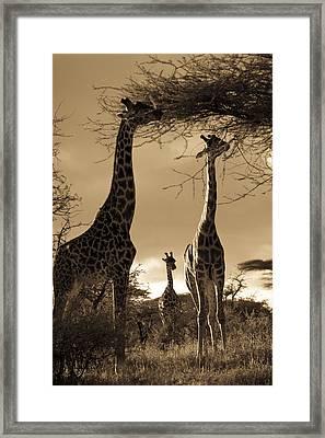 Giraffe Stretch Their Necks To Reach Framed Print by Ralph Lee Hopkins
