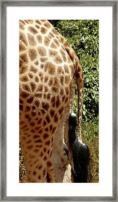 Giraffe Tails Framed Print by Exploramum Exploramum