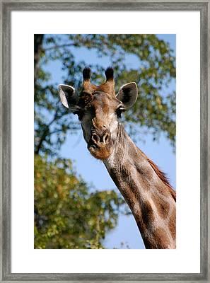Giraffe  Framed Print by Tess Haun