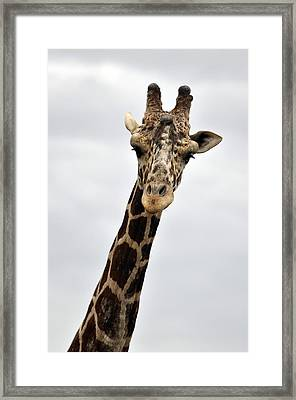 Giraffe  The Full Front View Framed Print by Laura Mountainspring