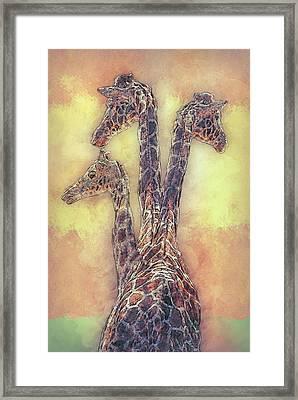 Giraffe-three In A Row Framed Print by Jack Zulli