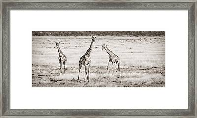Giraffe Trio - Black And White Giraffe Photograph Framed Print by Duane Miller