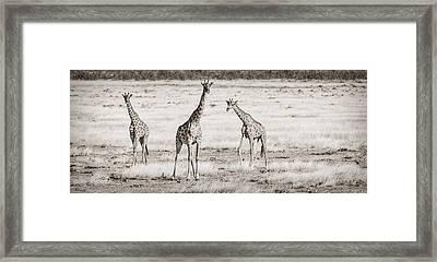 Giraffe Trio - Black And White Giraffe Photograph Framed Print