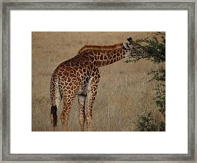 Giraffes Eating - Side View Framed Print