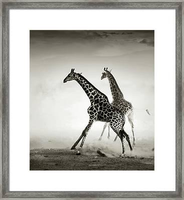 Giraffes Fleeing Framed Print