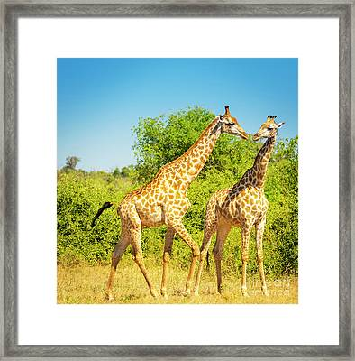 Giraffes In Africa Framed Print by Tim Hester