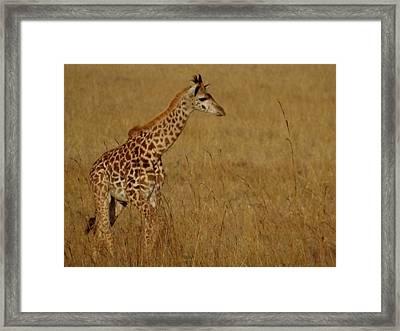 Giraffes On A Walk 2 Framed Print