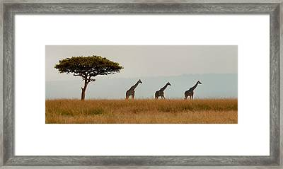 Giraffes On Parade Framed Print by Joe Bonita
