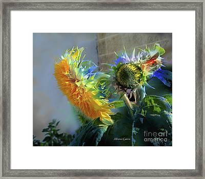 Girasol Framed Print by Alfonso Garcia