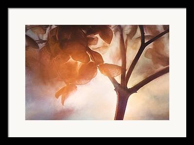 Dried Hydrangeas Framed Prints