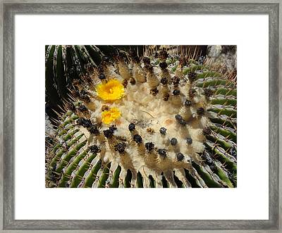 Giving Birth Barrel Cactus Yellow Flowers Framed Print