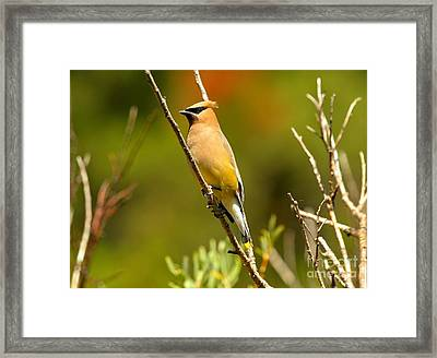 Glacier Cedar Waxwing Framed Print by Adam Jewell