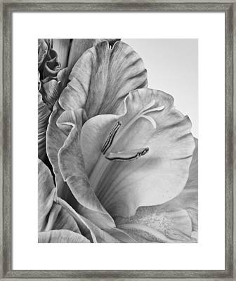 Gladiola In Grays Framed Print by David and Carol Kelly