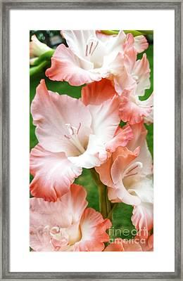 Gladiolus Ruffles  Framed Print