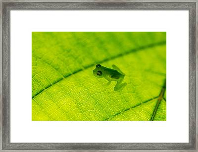 Glass Frog On Leaf, Sarapiqui, Costa Framed Print by Panoramic Images