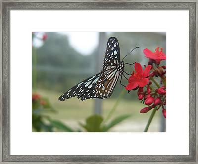 Glass Wing Butterfly Framed Print by James and Vickie Rankin